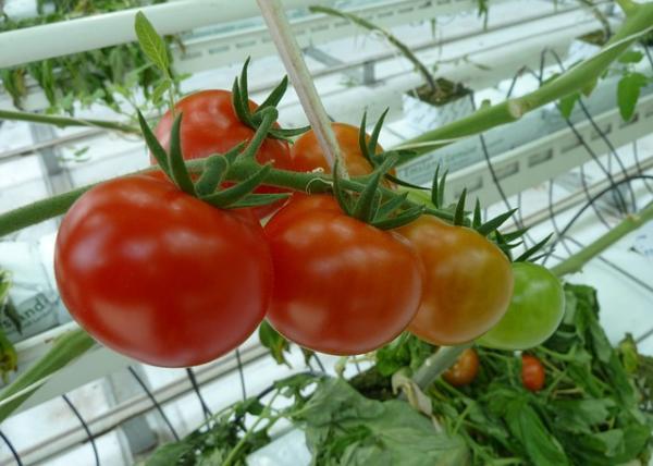 Pomidorų ir kitų šiltnamio daržovių auginimas
